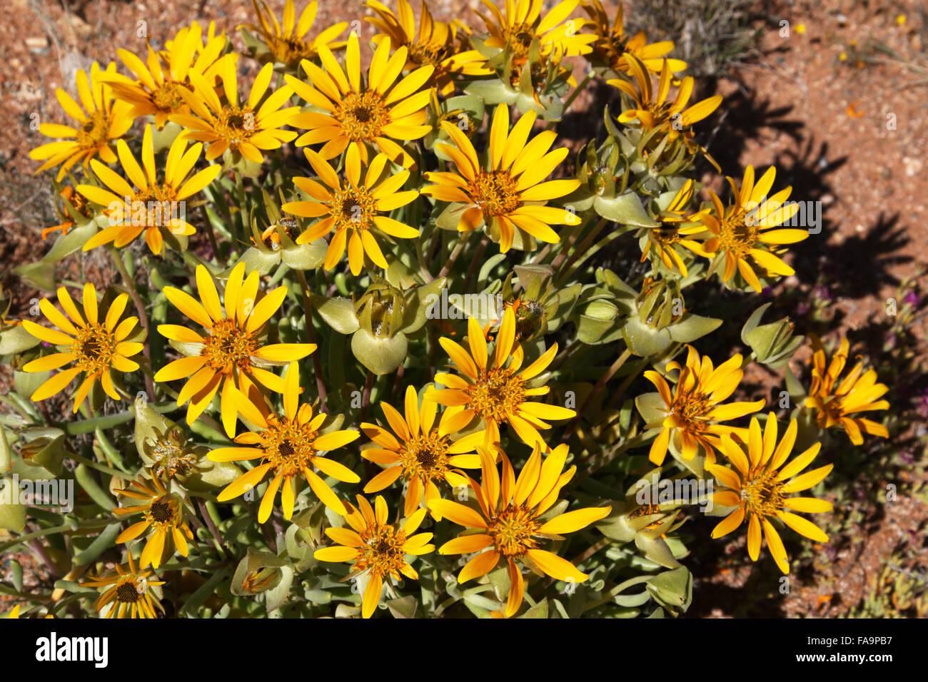 Didelta carnosa Daisy jaune du nord du Namaqualand Cape Afrique du Sud Banque D'Images