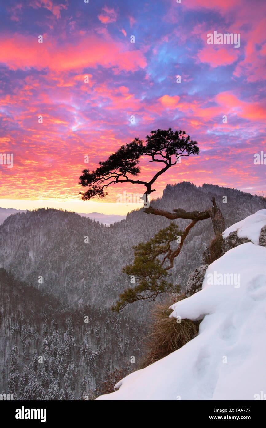 Seul arbre dans le Parc National des Pieniny au coucher du soleil, Pologne Photo Stock