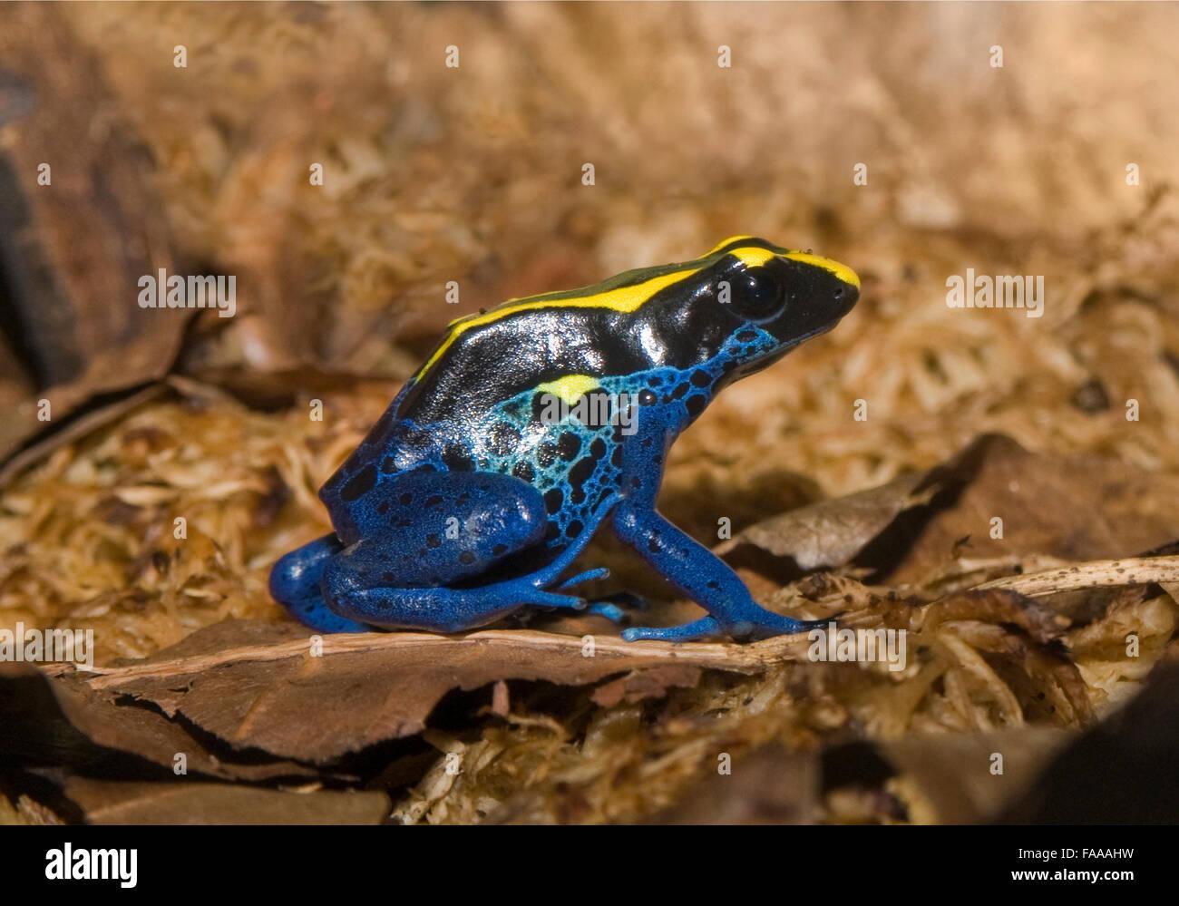 Poison dart frog, dendrobates tinctorius. Une petite grenouille originaire d'Amérique du Sud. connue pour Photo Stock