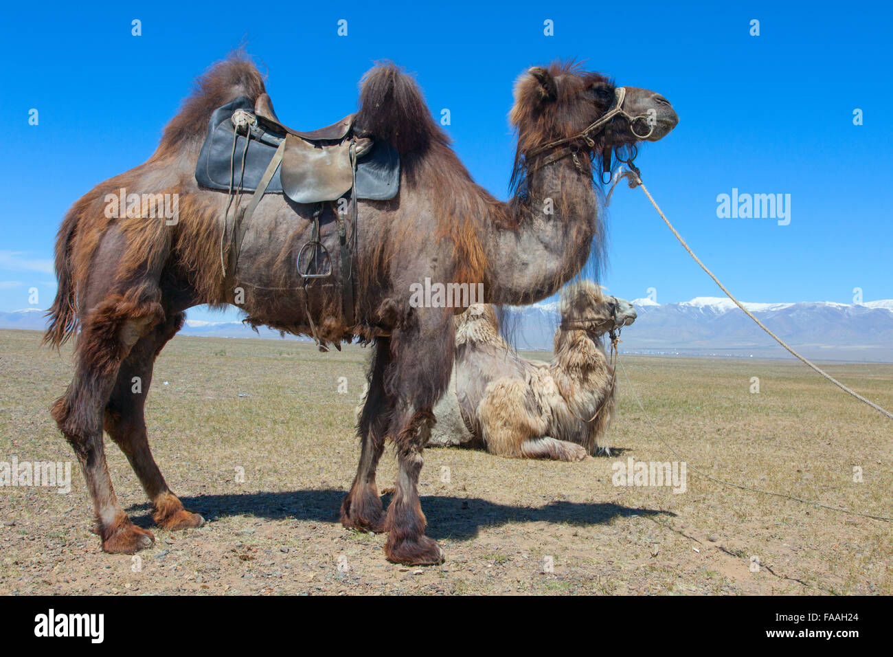 camel with saddle photos camel with saddle images alamy. Black Bedroom Furniture Sets. Home Design Ideas