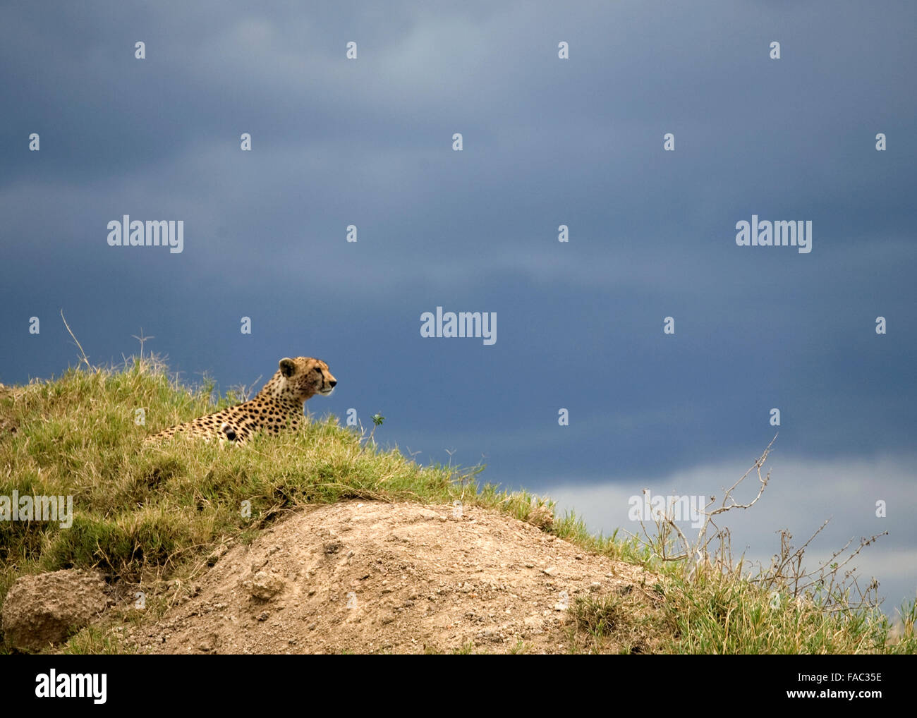 Cheetah Laying in Grass sur colline avec ciel noir Tanzanie Afrique de l'Est Photo Stock