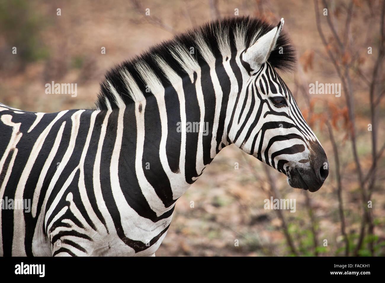 African Zebra closeup Photo Stock
