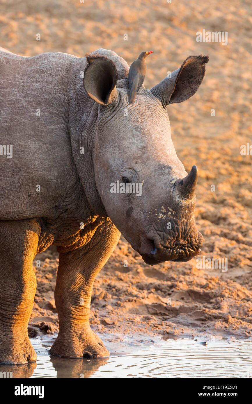 Le rhinocéros blanc (Ceratotherium simum) veau avec redbilled oxpecker (Buphagus erythrorhynchus), KwaZulu Photo Stock