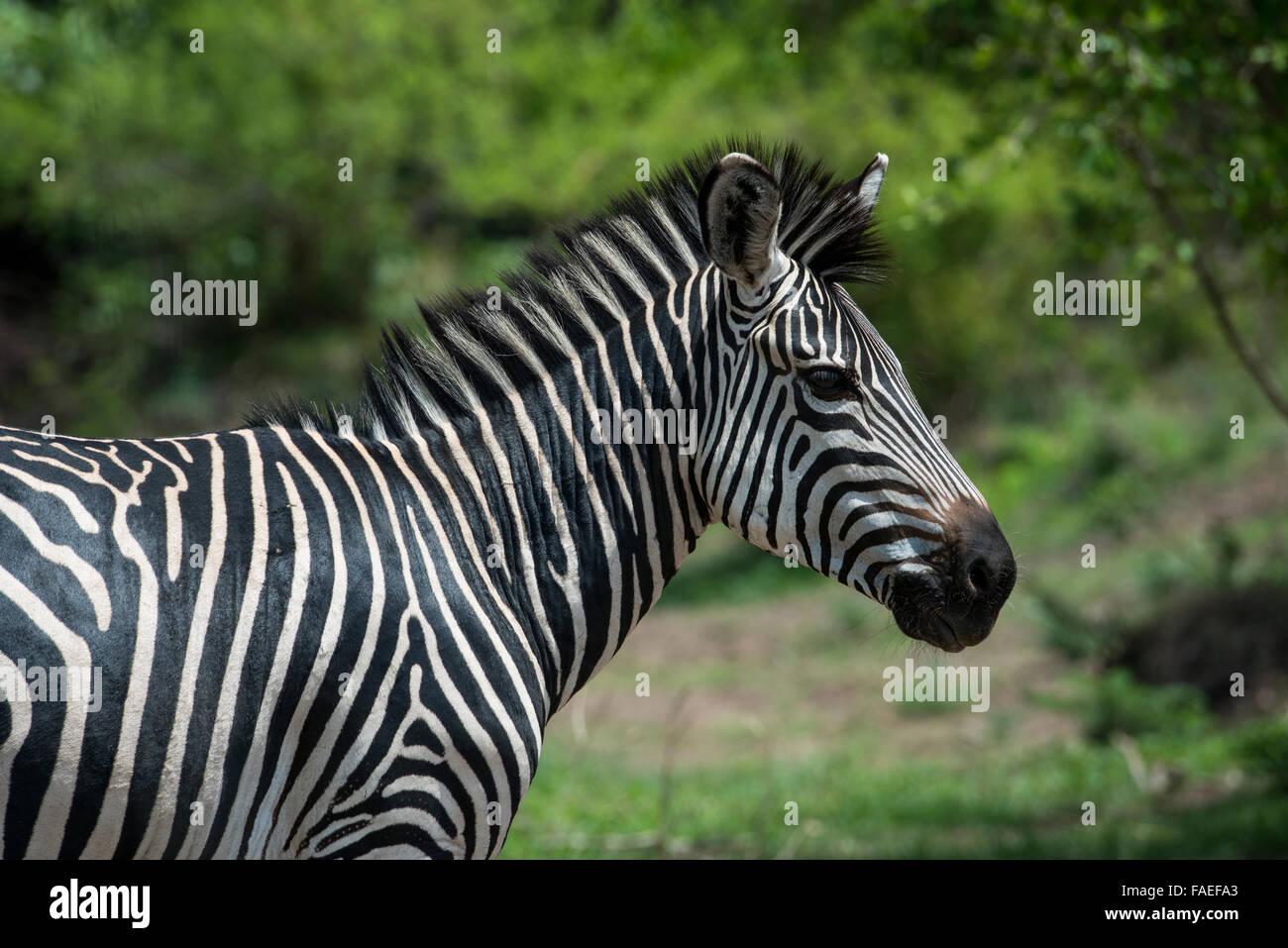 La Zambie, le parc national de South Luangwa, Mfuwe. Le zèbre de Crawshay (Wild: Equus quagga crawshayi) Banque D'Images