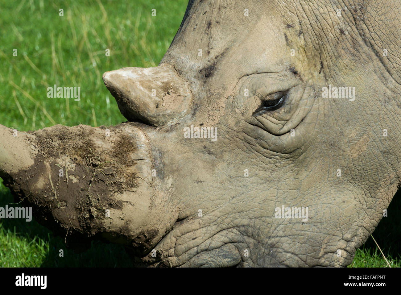 Rhinocéros blanc l'itinérance dans les pâturages à Knowsley Safari Park, le Merseyside (Royaume Photo Stock