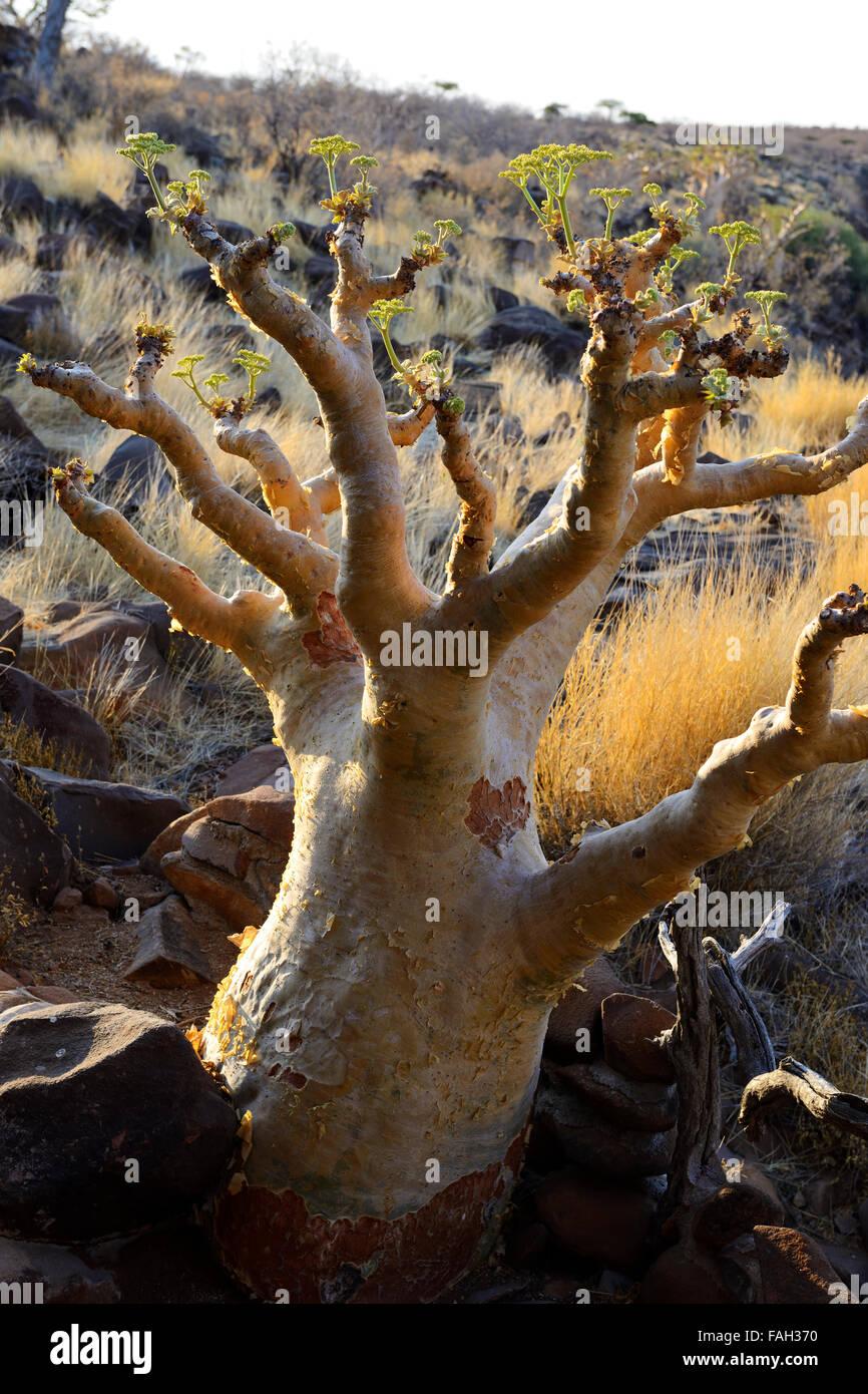 Au Quiver Tree Grootberg Lodge sur plateau Grootberg, région de Kunene, Namibie Banque D'Images