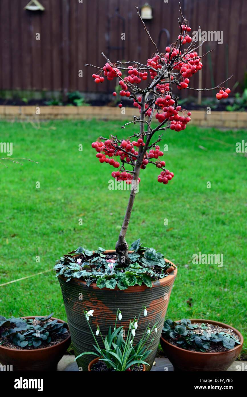 Arbre En Pot Hiver pommetier de nain arbre hiver noël rouge berry pommes fruits