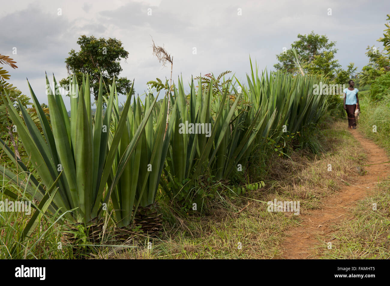 Sentier avec agave, Agave sisalana, utilisé pour la fabrication de cordes, aux côtés de plus en plus, Photo Stock