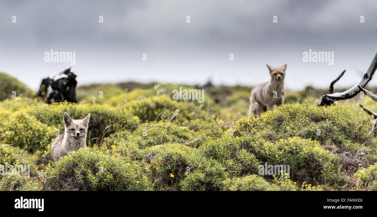 / Amérique du Sud Le renard gris de Patagonie (Lycalopex griseus) Parc National Torres del Paine Patagonie Photo Stock