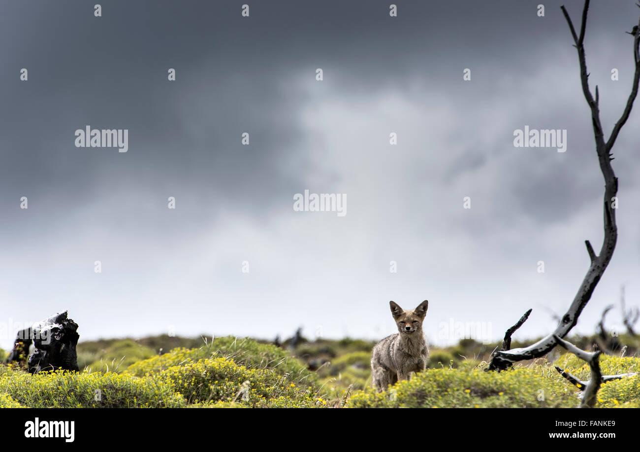 / Amérique du Sud (renard gris de Patagonie Lycalopex griseus) Parc National Torres del Paine Patagonie Chilienne Photo Stock