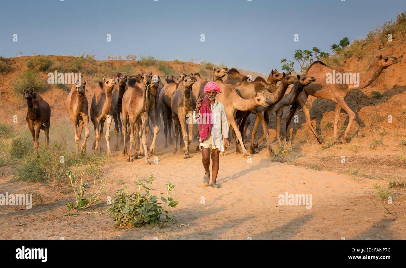 Chameaux sur la route de Pushkar Mela, Pushkar Camel Fair, Rajasthan, India Photo Stock
