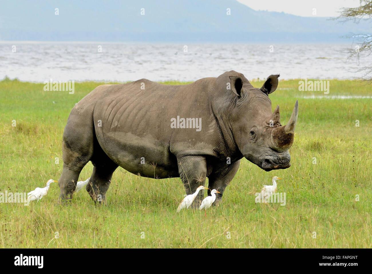 Le rhinocéros blanc au Parc National du Lac Nakuru au Kenya Photo Stock