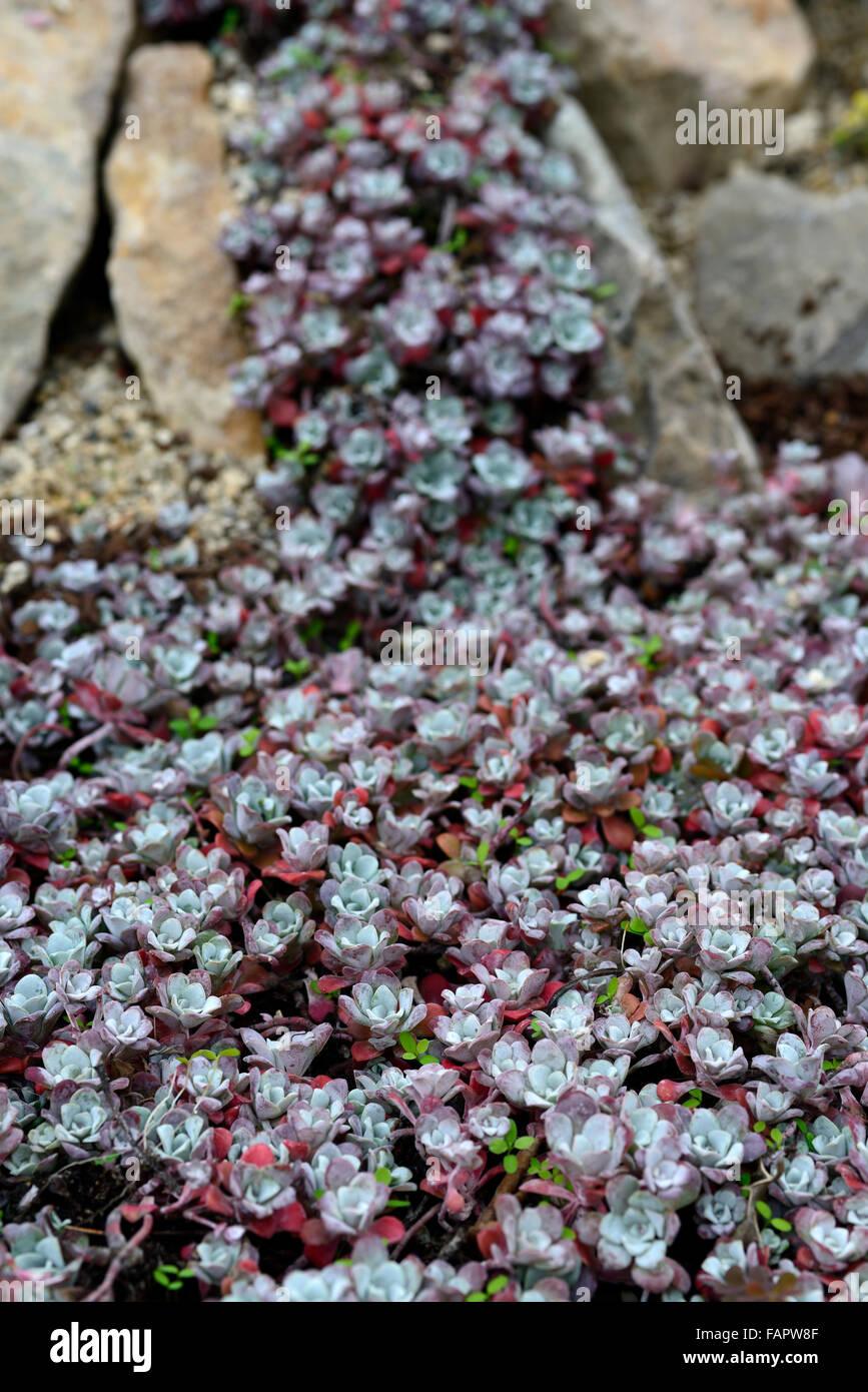 Sedum Spathulifolium Purpureum Succulentes Succulentes River