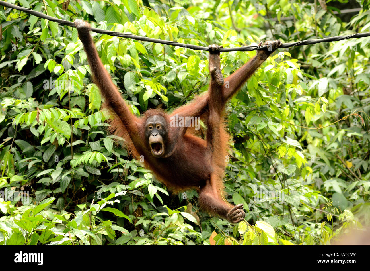 Orang-outan en centre de réhabilitation des Orang-outans de Sepilok Photo Stock
