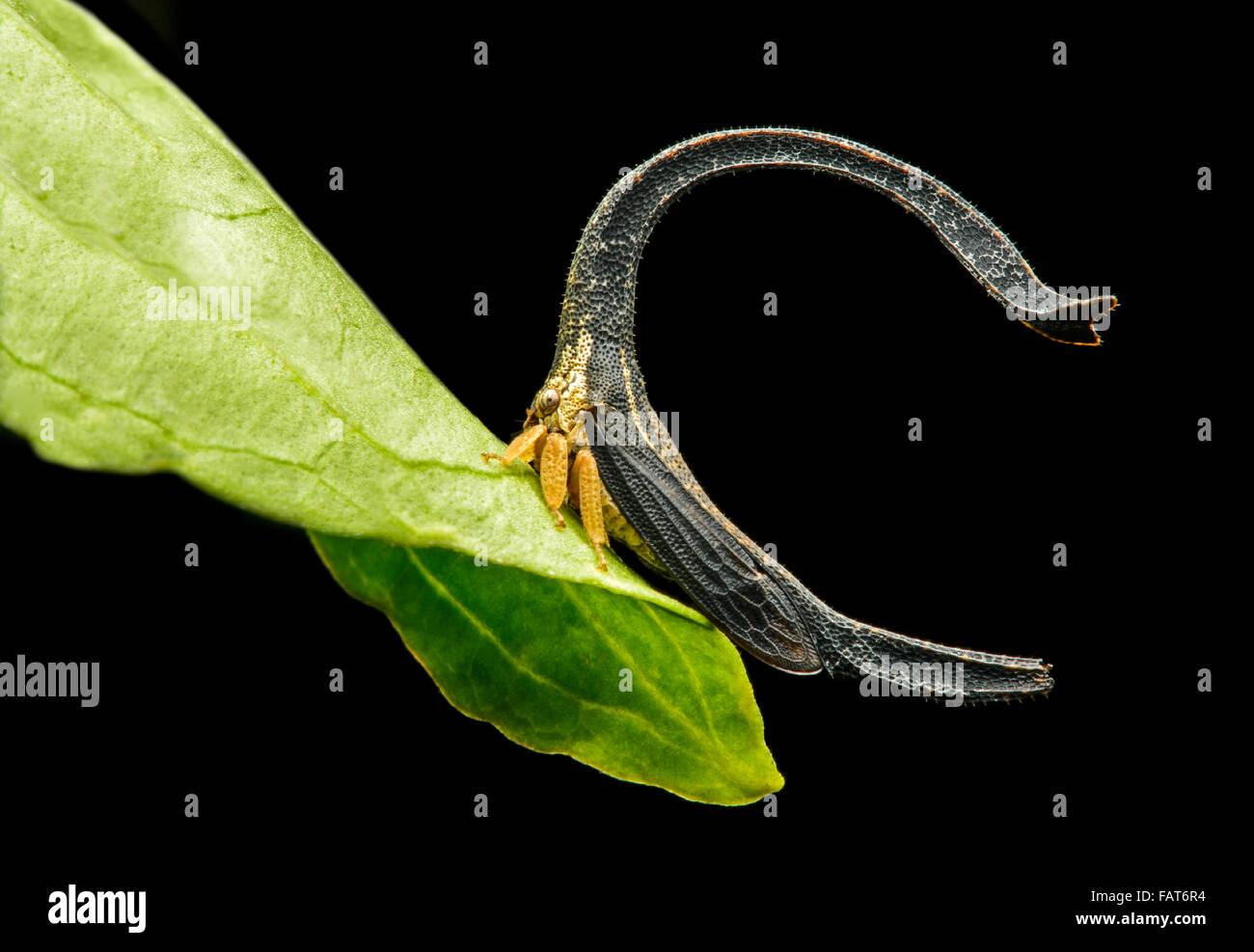 Treehopper (Cladonota sp.), taille 4mm, de la forêt de nuages andine, Mindo, Equateur Banque D'Images