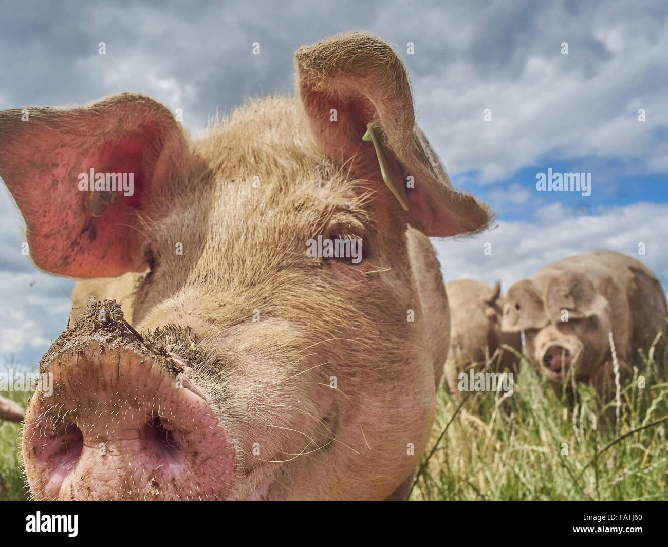 Close up Head shot of free range les porcs dans un champ d'herbe Photo Stock