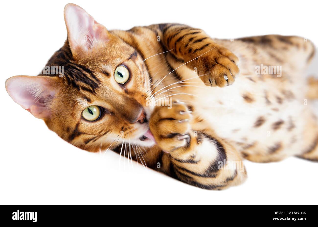Chat Bengal mâle looking at camera et lécher sa patte isolé sur fond blanc Modèle Libération: Photo Stock