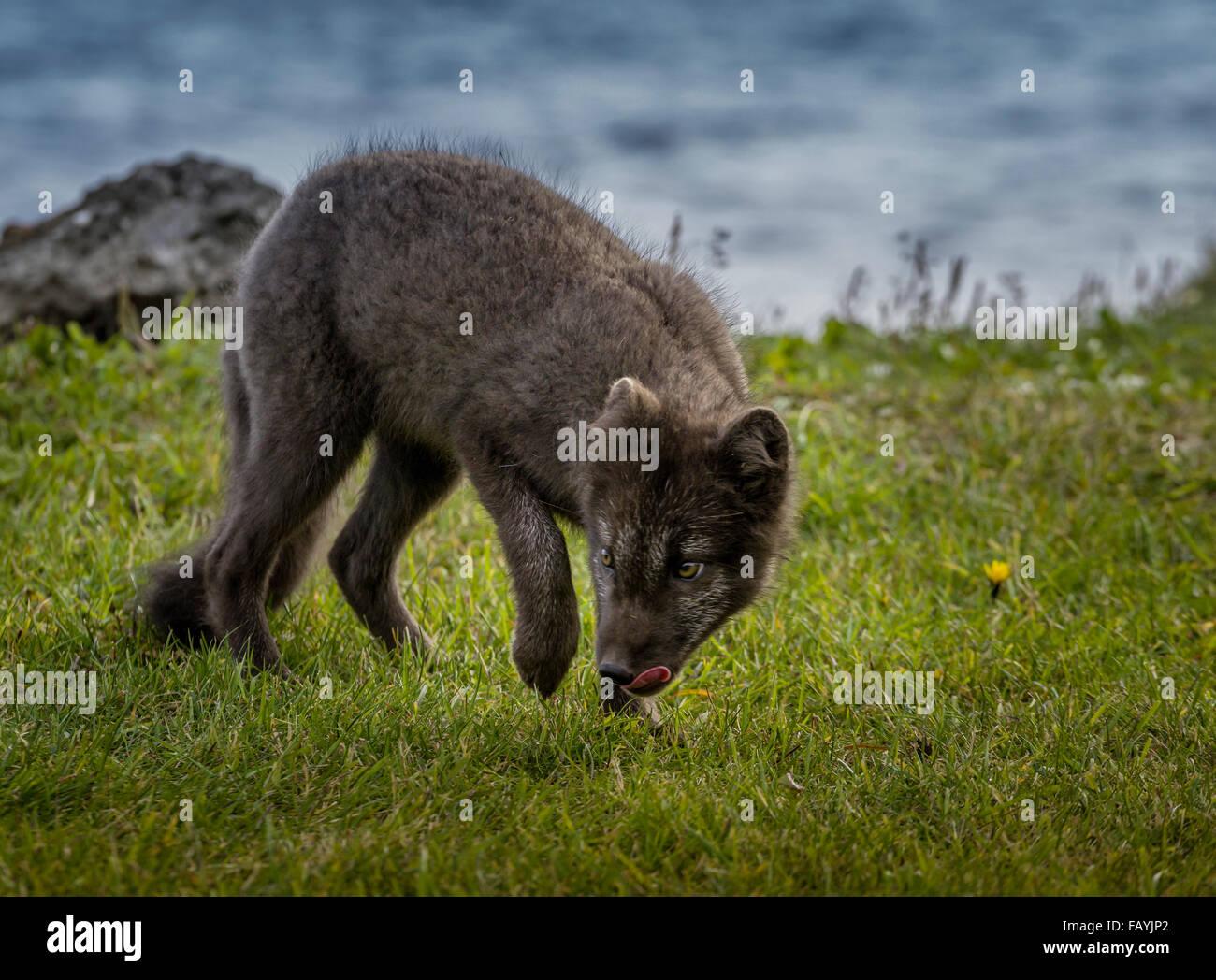 Portrait de renard arctique, Alopex lagopus, Islande Photo Stock