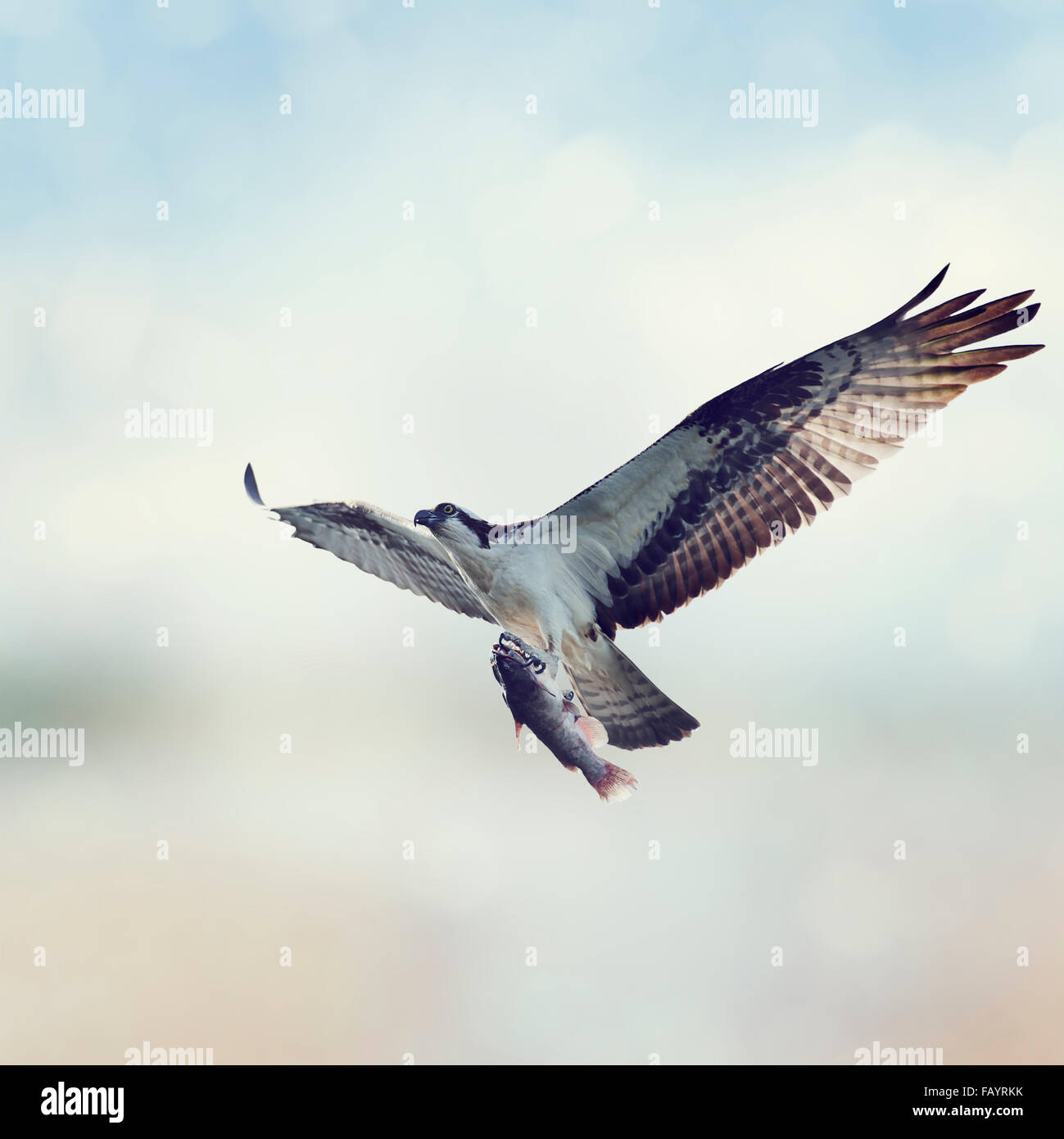 Osprey avec des poissons en vol Photo Stock