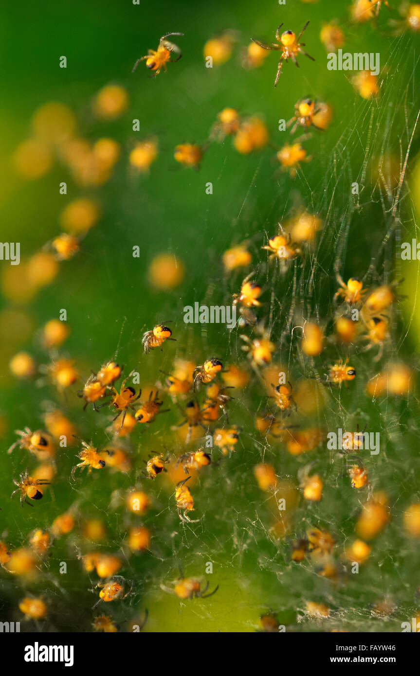 Un nid de minuscules araignées bébé jaune et noire dans un jardin anglais. Photo Stock