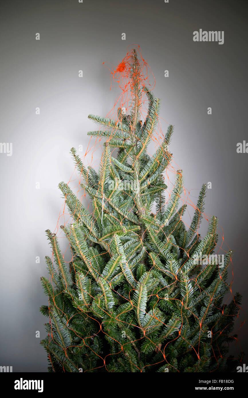 Sapin de Noël nu enveloppé dans net, à l'intérieur Banque D'Images