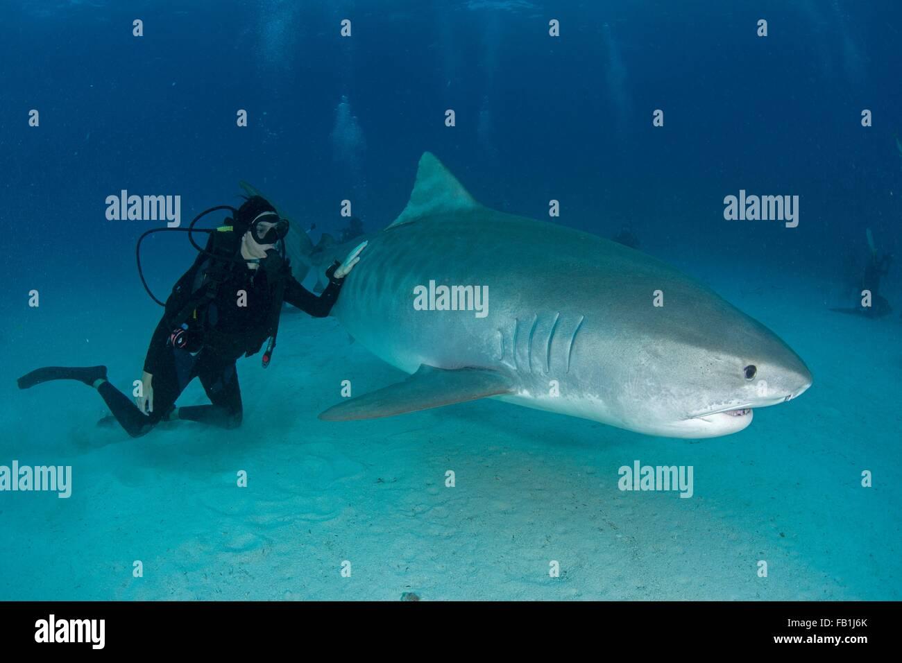 Sous-vue de scuba diver toucher requin tigre près de fond marin, plage du Tigre, Bahamas Photo Stock
