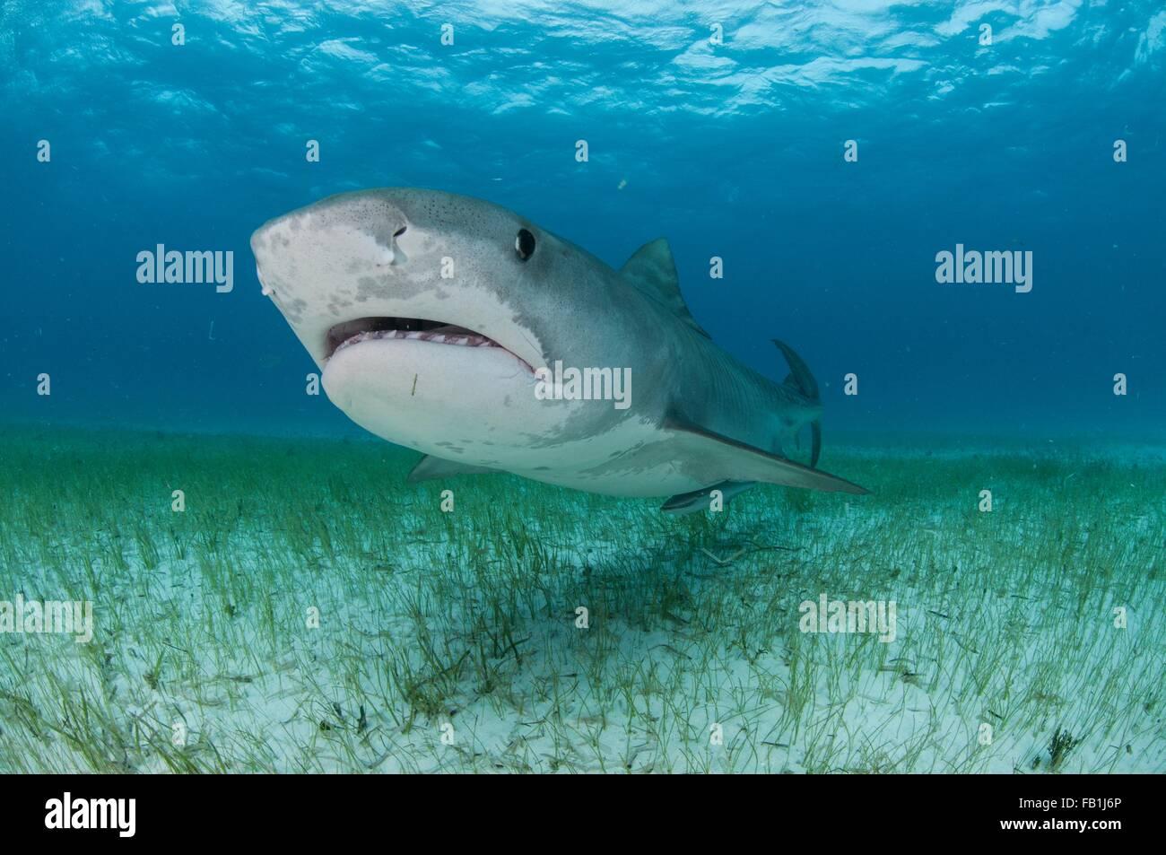 Low angle sous-vue de requin tigre nager près des fonds marins couverts d'herbes marines, plage du Tigre, Photo Stock