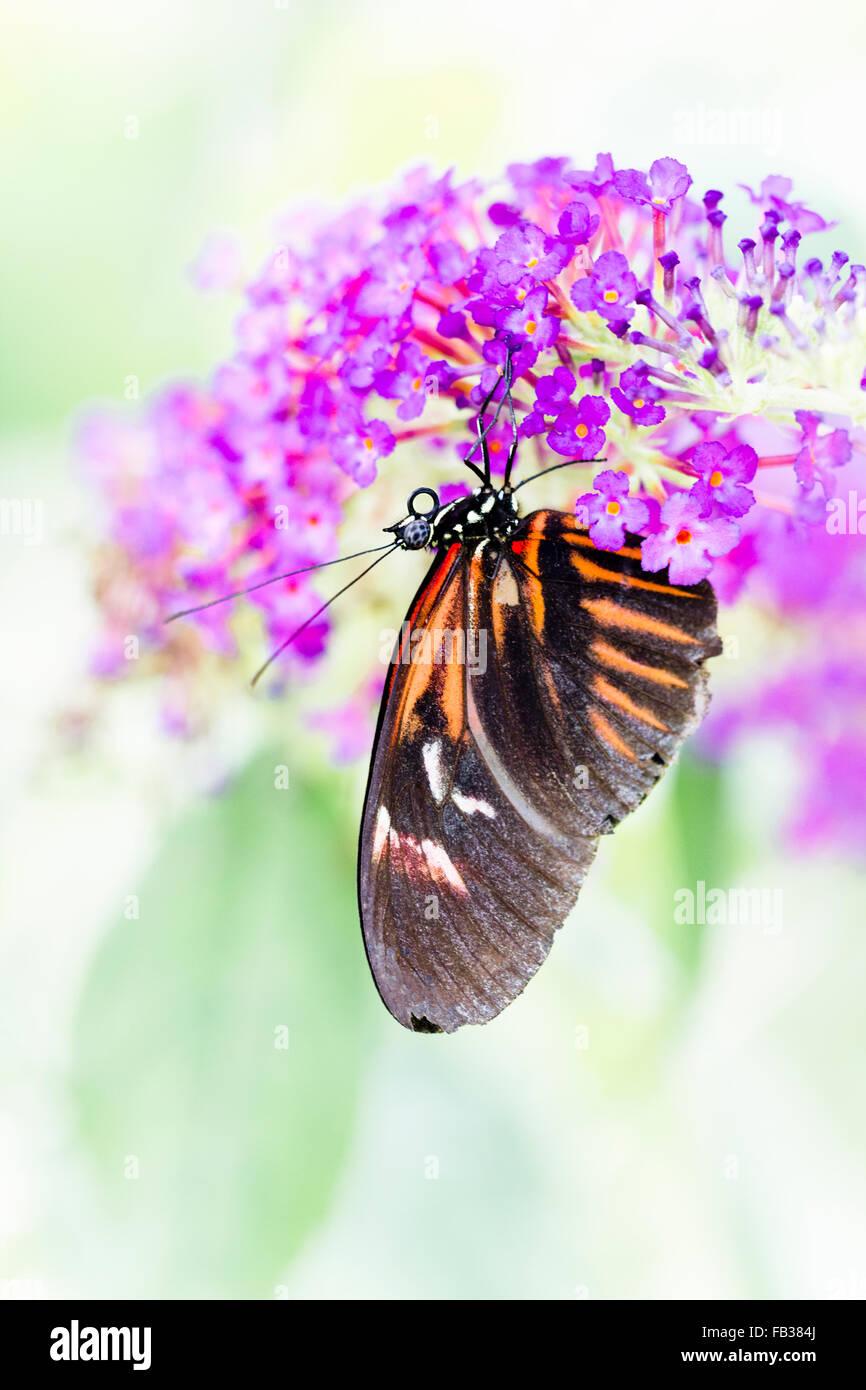 Papillon Heliconius melpomene Photo Stock