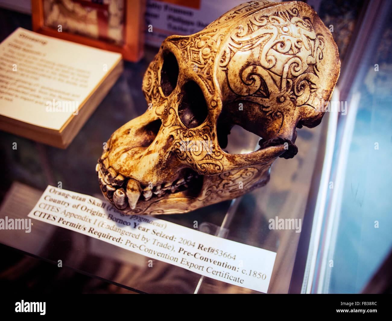Crâne de l'orang-outan saisis par les douanes à l'importation illégale de la Nouvelle-Zélande Photo Stock