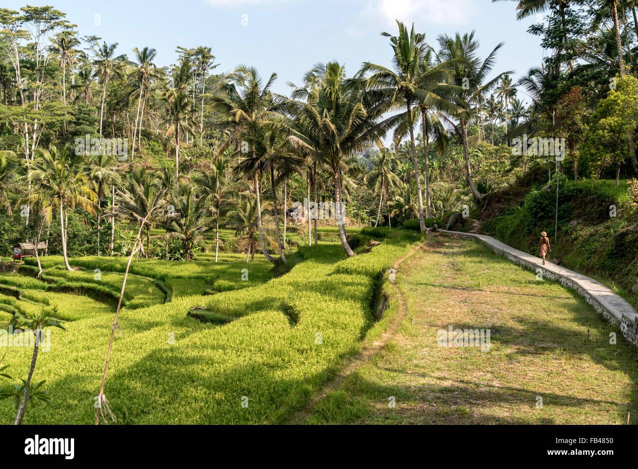 Terrasses de riz au Temple de Gunung Kawi, près de Tampaksiring Ubud, Bali, Indonésie Photo Stock