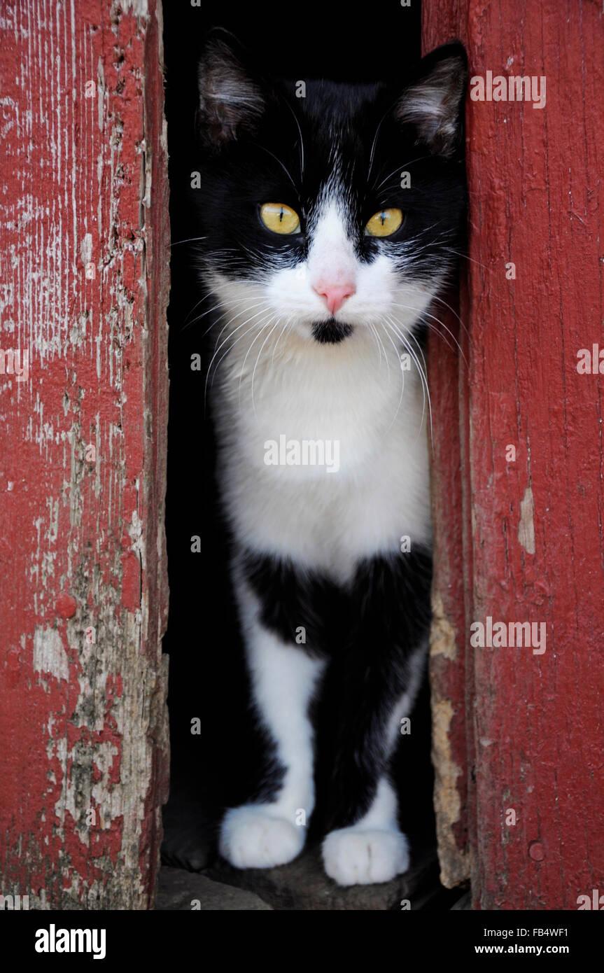 Chat noir et blanc à peeking through portes de grange rouge Photo Stock