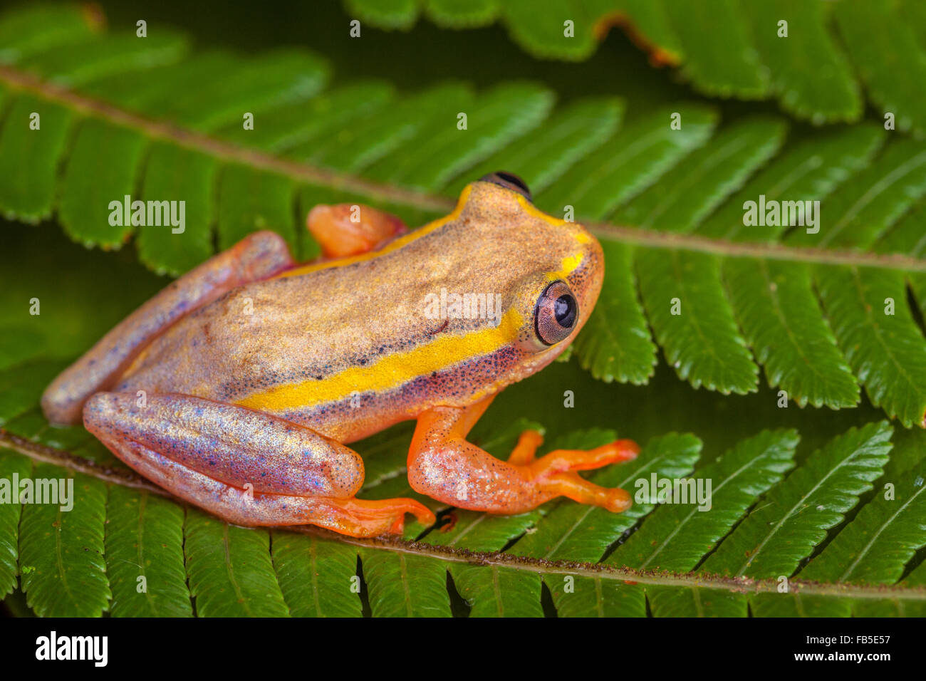 Une petite grenouille d'arbre dans le Parc National Andasibe, Madagascar. Photo Stock