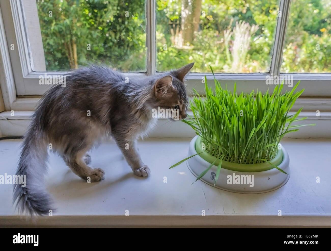 Enquête sur herbe de chat chaton pour compléter l'alimentation et la santé. Photo Stock