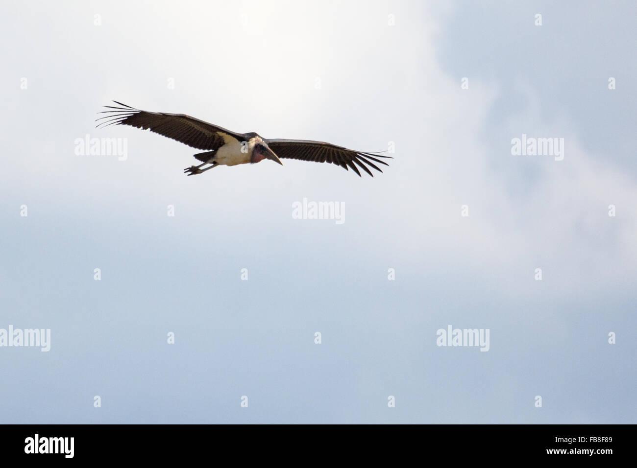 Un vautour au Zimbabwe Photo Stock