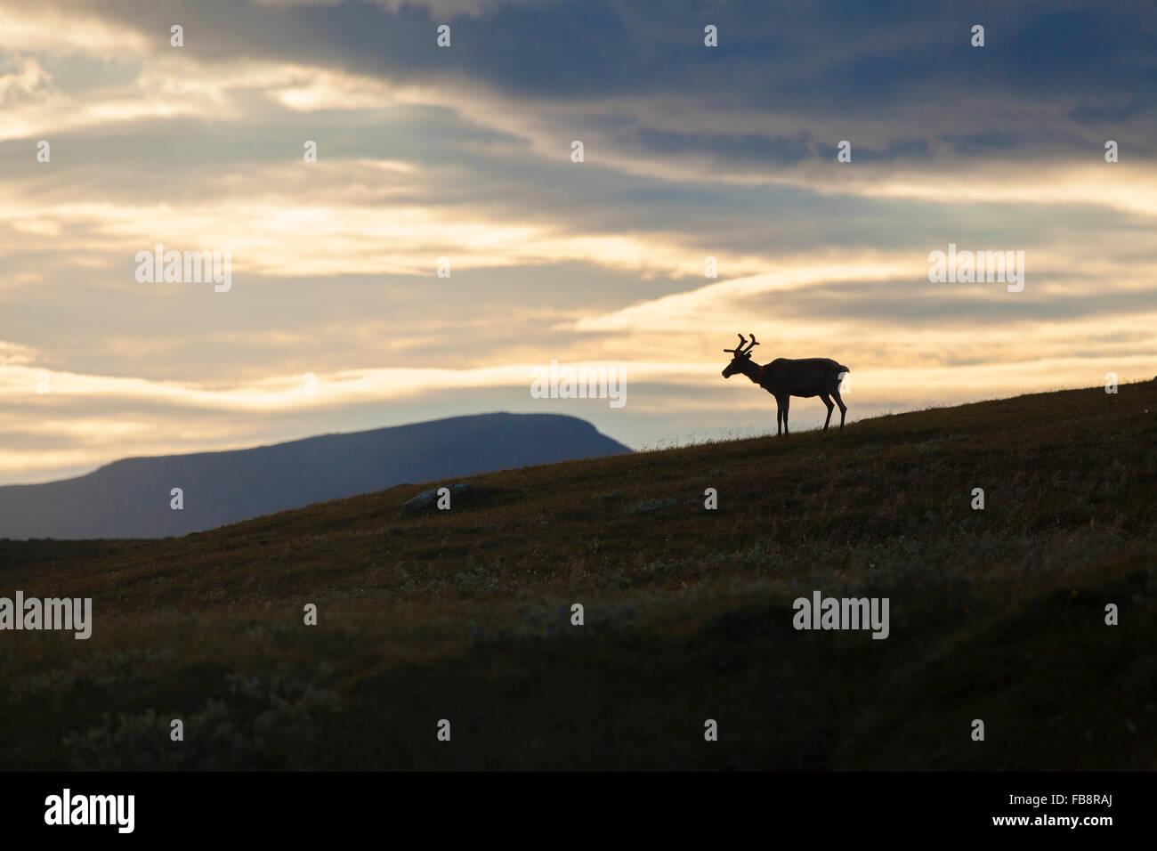 La Suède, Harjedalen, Helagsfjallet, renne au crépuscule Photo Stock