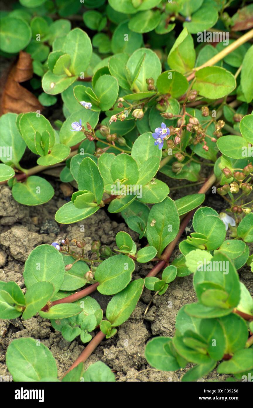 Close Up D Une Vivace Rampante Vert Avec Une Petite Fleur Bleue
