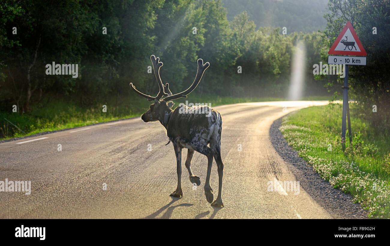 Le renne (Rangifer tarandus) crossing road, Europa 6, E6, près d'Alta, comté de Finnmark, Norvège Photo Stock