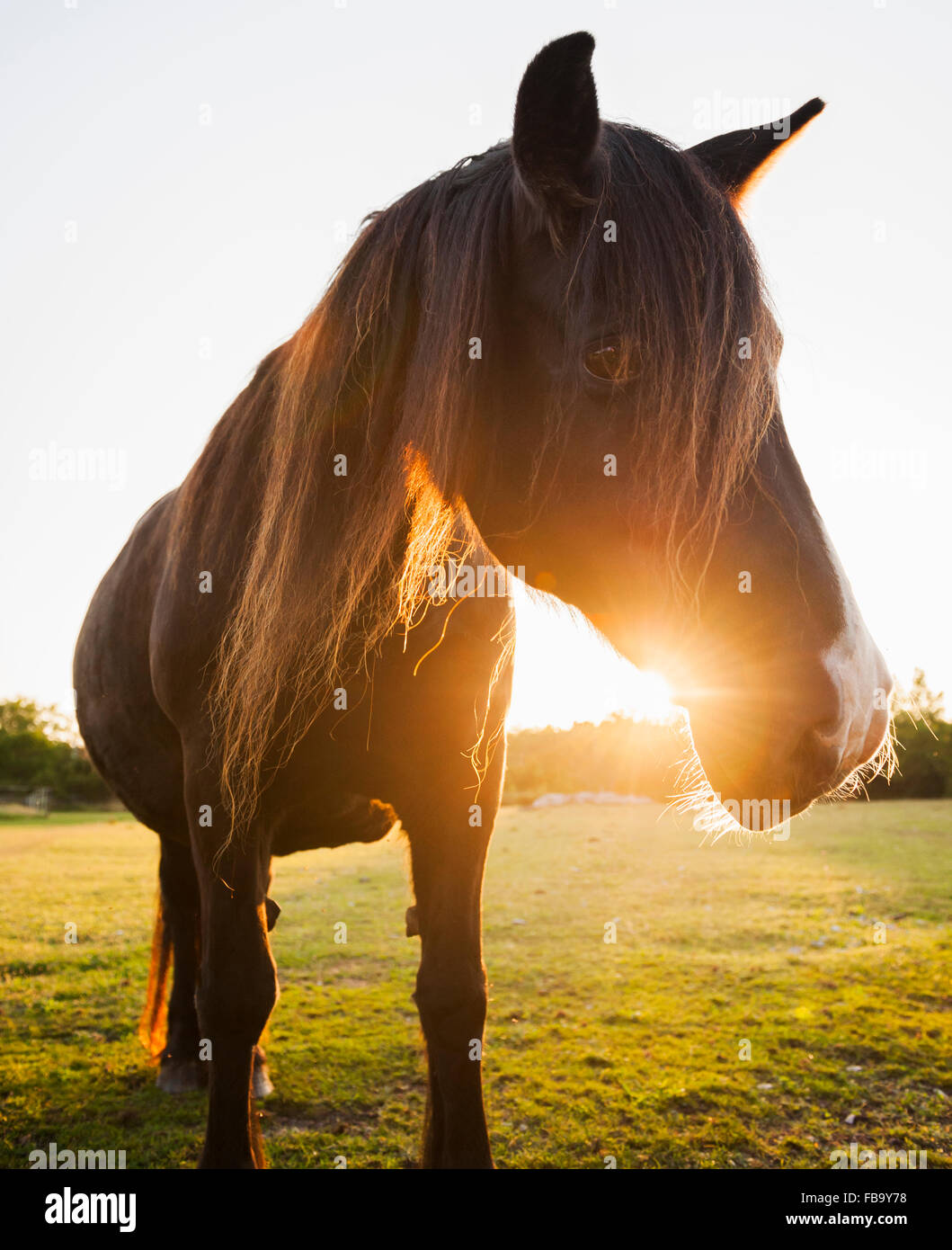 La Suède, Gotland, cheval au coucher du soleil Photo Stock