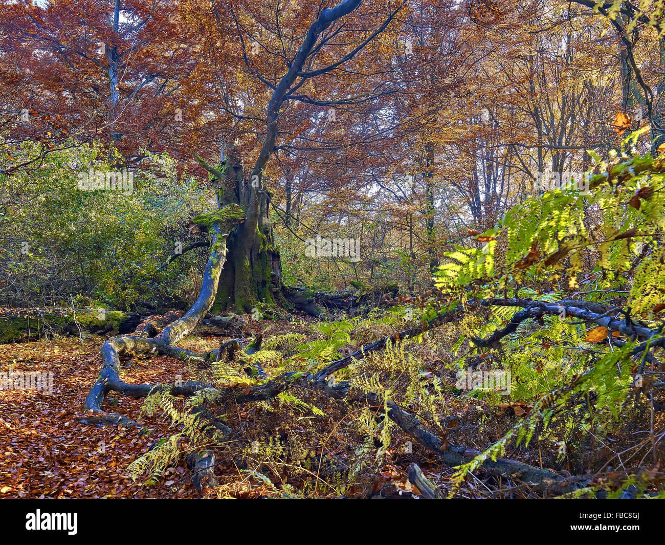 La forêt de la réserve naturelle de Sababurg, Hesse, Allemagne Photo Stock