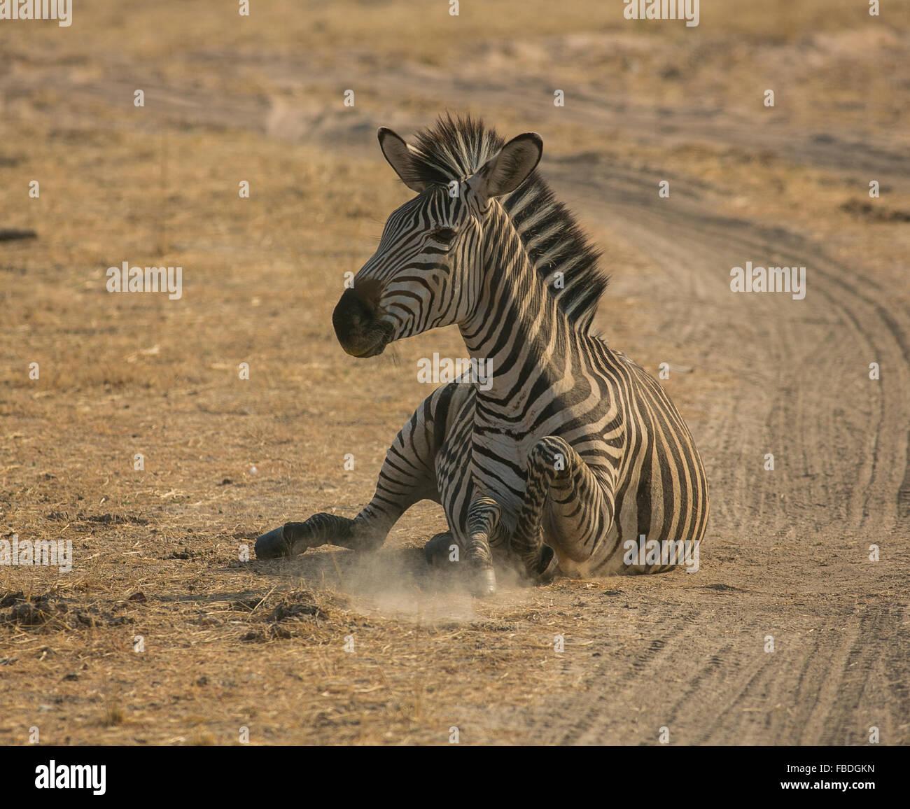 Un zèbre de Crawshay (Equus quagga crawshayi) apprendre à ses pieds, l'Laungwa, Zambie, Afrique Banque D'Images