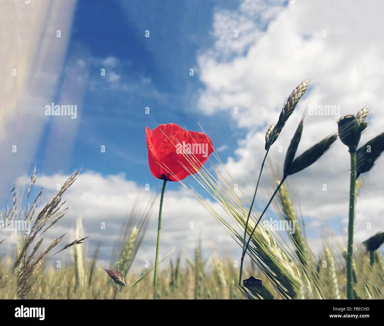 Les plants de blé et de fleurs de fleur rouge contre Ciel nuageux Banque D'Images