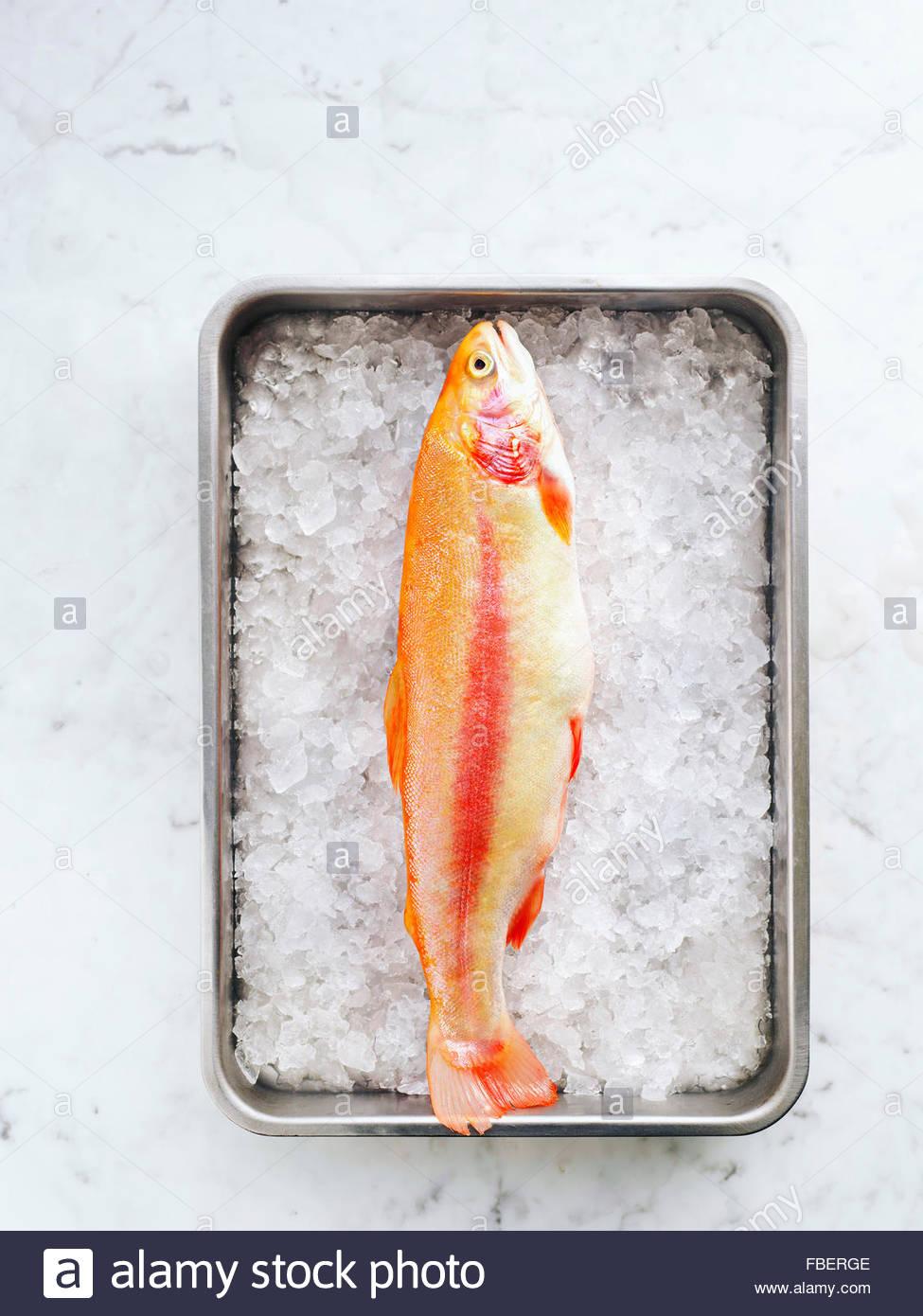 La truite arc-en-ciel d'or dans une casserole avec de la glace sur la table de marbre Photo Stock