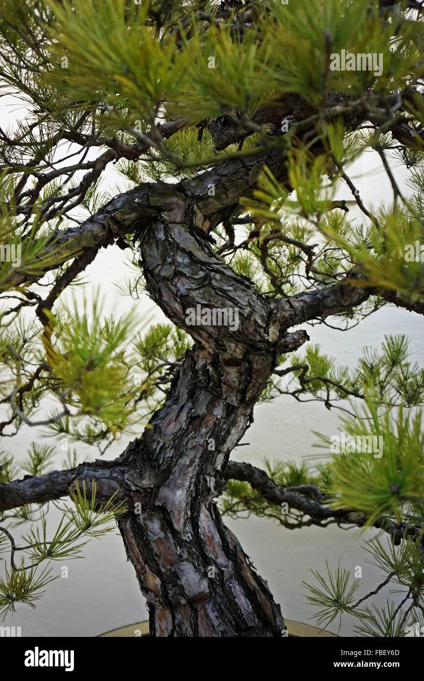 Portrait de l'arbre de bonzaies Photo Stock