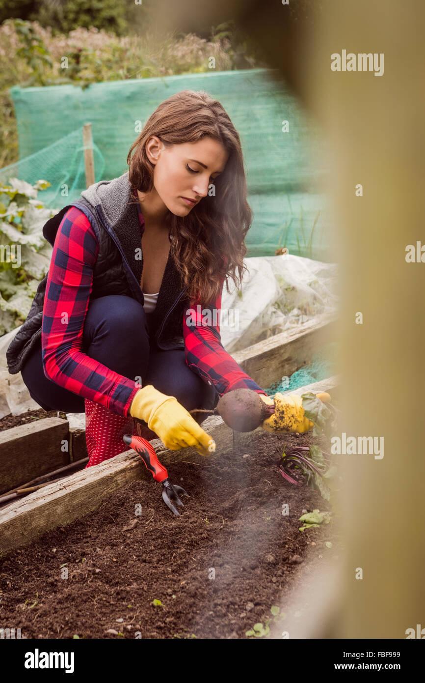 Woman pulling betterave du sol Photo Stock