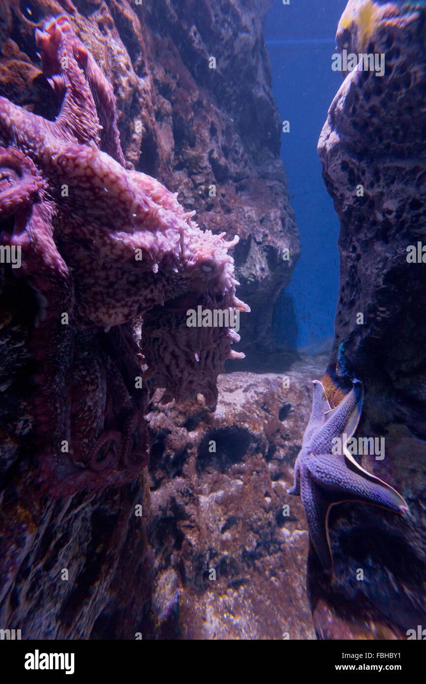 Le poulpe, Den Blå Planet, Bleu Plante Aquarium, Copenhague, Danemark Photo Stock