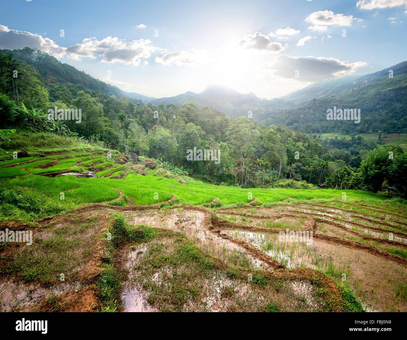 Champs de riz vert dans les montagnes de Sri Lanka Photo Stock