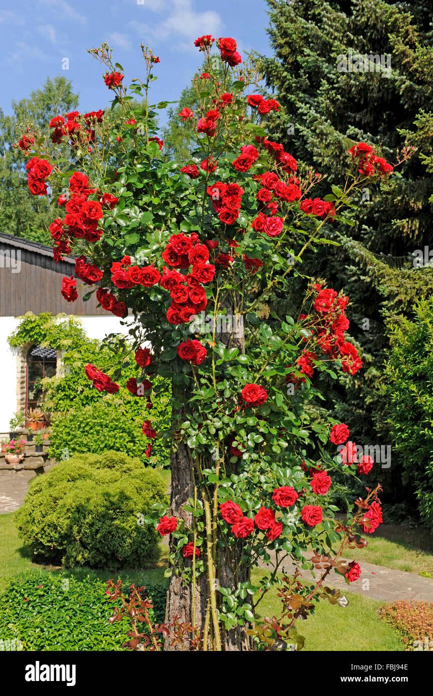 Rosier grimpant rose, sympathie, une deuxième fois en fleurs, fleurs rouge foncé de la début de l'été Photo Stock