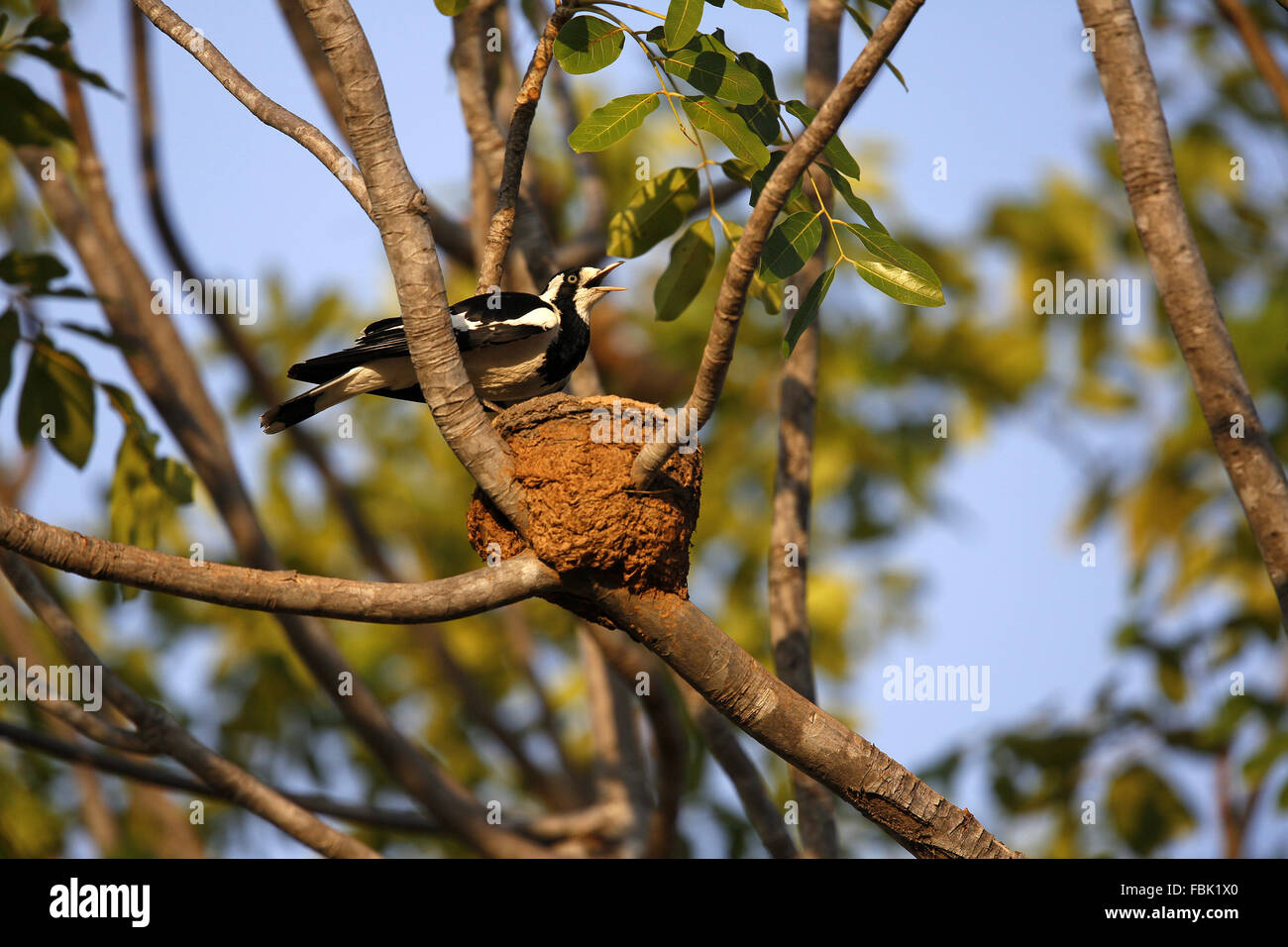 Magpie-Lark Grallina cyanoleuca australienne, au nid, Photo Stock