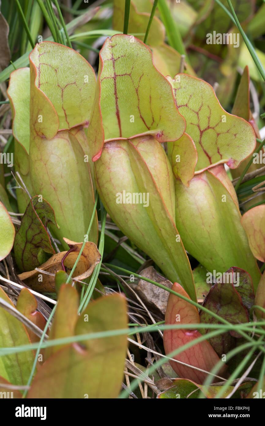 La sarracénie pourpre (Sarracenia purpurea) Banque D'Images