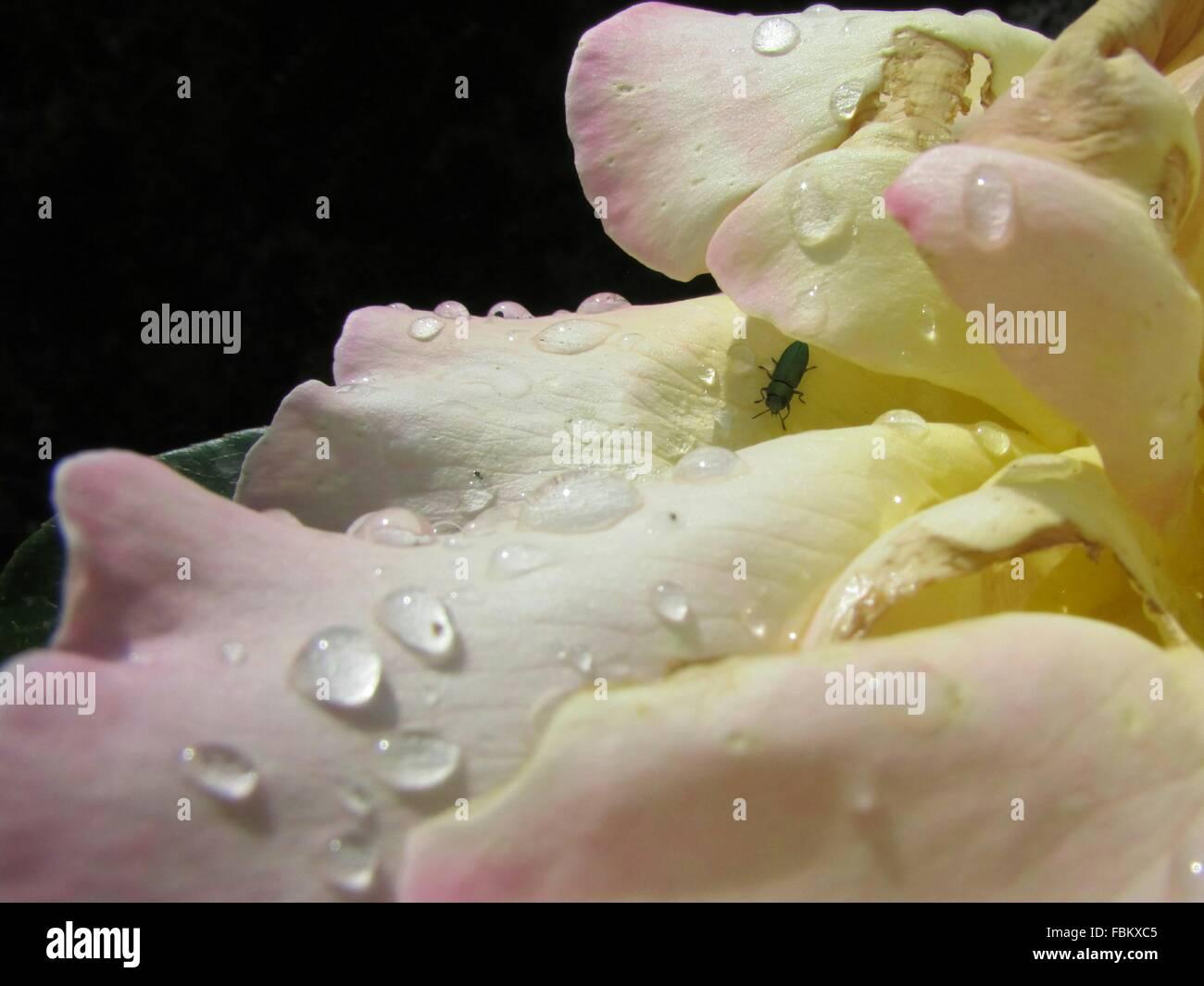 Gouttes d'eau sur une pétale de fleur Photo Stock